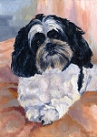 Lucy - a black and white Shih Tsu