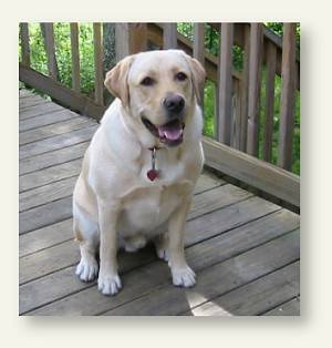 Spencer - the beloved yellow lab of Cheryl McManus